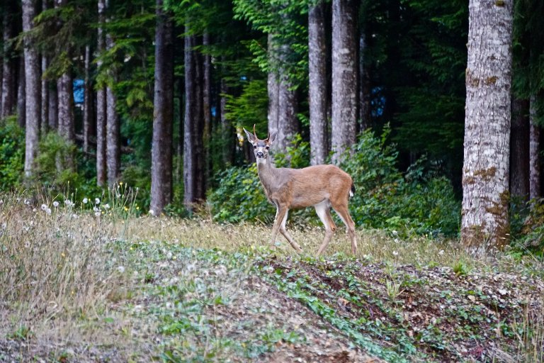 Deer on the edge of the woods
